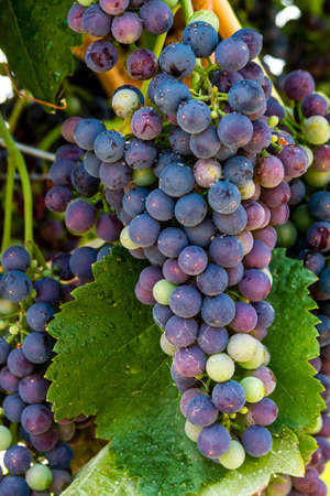 western slope: Close up of multiple bunches of red wine grapes ripening on grapevine Stock Photo