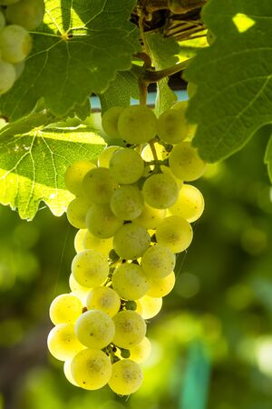 western slope: Bunch of white wine grapes hanging on vine back lit by afternoon sun