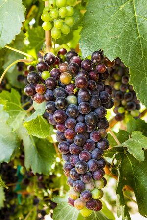 raisin vin: Bunch of red wine grapes ripening on grapevine with leaves Banque d'images