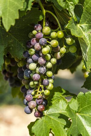 western slope: Bunch of multi-colored red wine grapes hanging on grapevine in morning sunlight Stock Photo