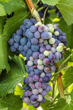 western slope: Large bunch of multi-colored red wine grapes ripening on grapevine in vineyard Stock Photo
