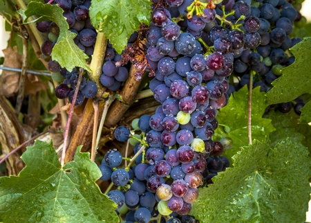 western slope: Close up of large bunch of multi-colored red wine grapes hanging on grapevine with leaves with water droplets Stock Photo