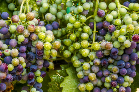 western slope: Close up of bunches of multi-colored red wine grapes ripening on grapevine with water droplets on summer afternoon