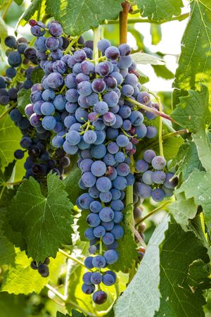 western slope: Bunch of multi-colored red wine grapes ripening on grapevine in vineyard