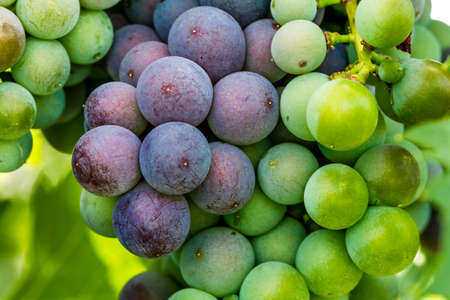 western slope: Close up of bunch of red wine grapes ripening on grapevine Stock Photo