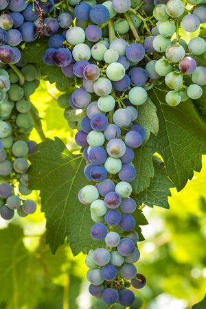 western slope: Large bunch of multi-colored red wine grapes hanging on the vine in vineyard Stock Photo