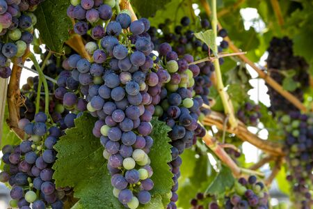 western slope: Multiple bunches of red wine grapes ripening on grapevine