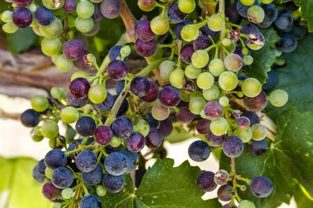 western slope: Close up of bunch of multi-colored red wine grapes ripening on grapevine with leaves