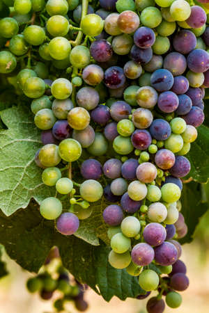 western slope: Multi-colored red wine grapes ripening on grapevine on summer afternoon