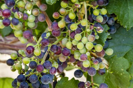 western slope: Close up of beautiful bunch of multi-colored red wine grapes ripening on grapevine with leaves