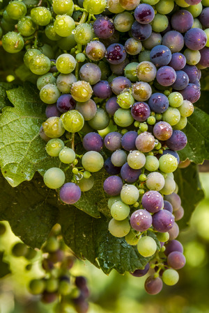 western slope: Multi-colored red wine grapes ripening on grapevine with water droplets on summer afternoon Stock Photo