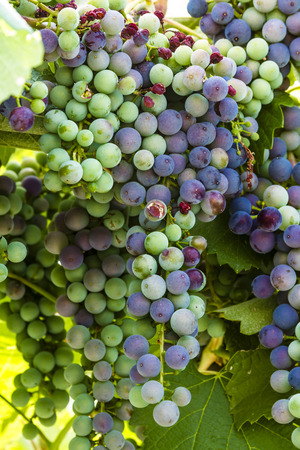 western slope: Large bunches of multi-colored red wine grapes hanging on the vine in vineyard