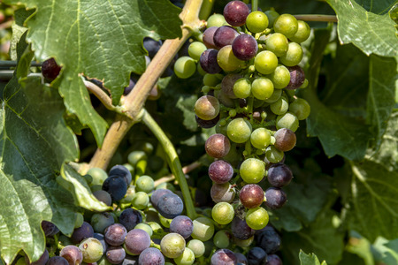 western slope: Bunches of multi-colored red wine grapes ripening on grapevine in morning sunlight with leaves
