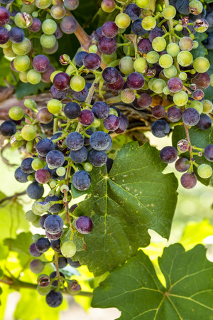 western slope: Beautiful bunch of multi-colored red wine grapes ripening on grapevine with leaves