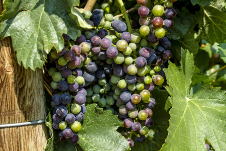 wooden post: Bunches of multi-colored red wine grapes ripening on grapevine in morning sunlight with leaves next to wooden post