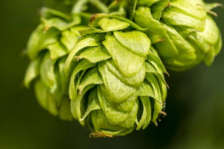 hopfield: Close up of organic hops seed cones growing on vine