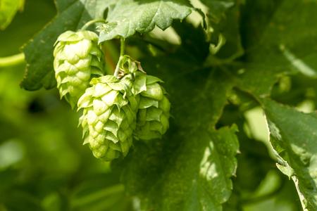 hopfield: Organic hops seed cones growing on vine