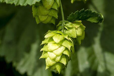 Close up de houblon bio cônes de semence sur la vigne Banque d'images - 44242275