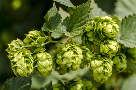 Organic hops seed cones growing on vine