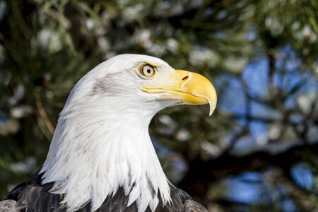 white headed: Close up profile of bald eagle sitting in snow covered trees on sunny winter morning