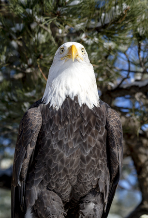 white headed: American bald eagle sitting in snow covered trees on sunny winter morning