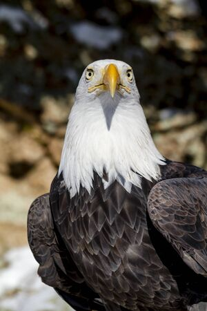 white headed: Bald eagle looking forward sitting in snow covered rocks on sunny winter morning