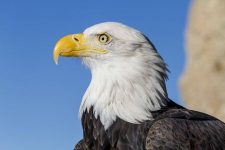 calvo: Cierre de perfil de águila calva de la soleada mañana de invierno