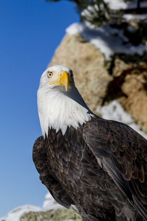 white headed: Bald eagle sitting on snow covered rocks sunny winter morning