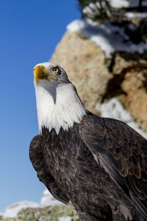 white headed: American bald eagle sitting on snow covered rocks sunny winter morning