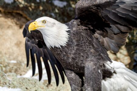 white headed: American bald eagle sitting on snow covered rocks flapping its wings Stock Photo