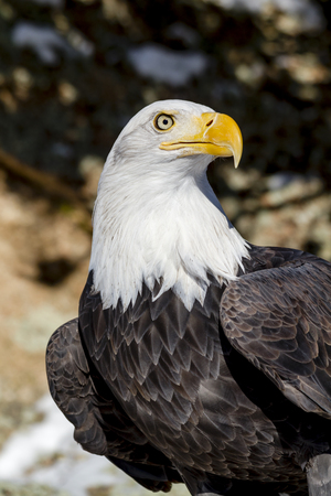white headed: Profile of bald eagle sitting in snow covered rocks on sunny winter morning Stock Photo