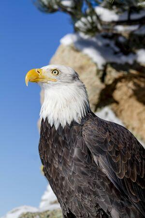 calvo: Perfil del águila calva sentado en las rocas cubiertas de nieve en la soleada mañana de invierno Foto de archivo