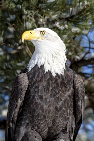white headed: Profile of bald eagle sitting in snow covered trees on sunny winter morning Stock Photo