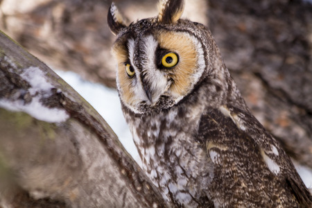 a large bird of prey: Close up of long eared owl perched in pine tree on snowy winter morning