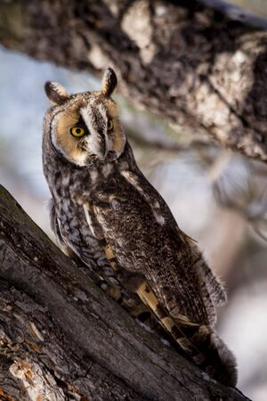 eared: Long eared owl perched on pine tree branch on snowy winter morning