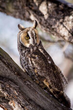 eared: Long eared owl sitting on pine tree branch on snowy winter morning