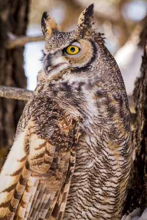 Close up of great horned owl sitting in snow covered pine tree on cold winter morning