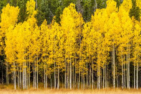 Stand van het veranderen van geel Aspen boom in de voorkant van de donkergroene pijnbomen in de bergen van Colorado op dalingsmiddag Stockfoto