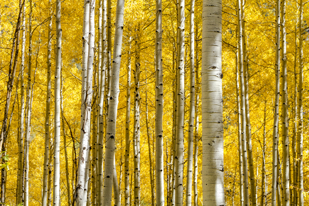 Stand of Aspen tree trunks with changing leaves looking down mountain side on sunny autumn morning Фото со стока