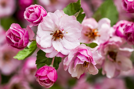 crab apple tree: Close up of tree branch filled with light pink crab apple tree blooms surrounded by unopened buds and leaves Stock Photo
