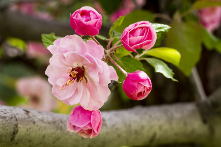 crab apple tree: Tree branch filled with light pink crab apple tree blooms surrounded by unopened buds and green leaves Stock Photo