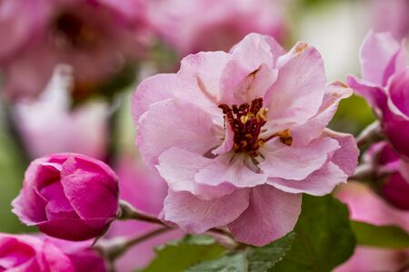 crab apple tree: Close up of light pink crab apple tree bloom surrounded by unopened buds and green leaves