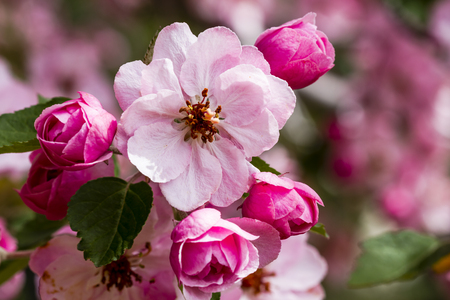 crab apple tree: Light pink crab apple tree blooms surrounded by unopened buds on tree branch