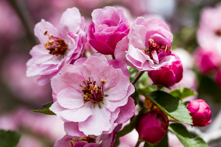 crab apple tree: Close up of light pink crab apple tree bloom surrounded by unopened buds on tree branch with green leaves Stock Photo