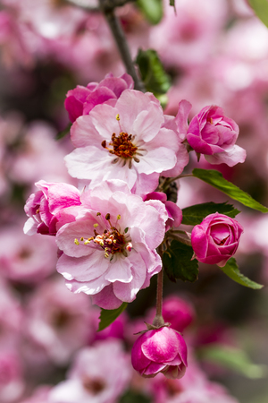 crab apple tree: Tree branch filled with light pink crab apple tree blooms surrounded by unopened buds and leaves