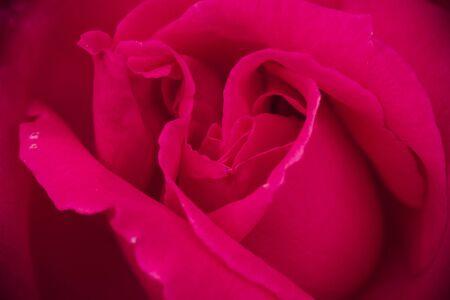 unfolding: Bright pink rose petals unfolding