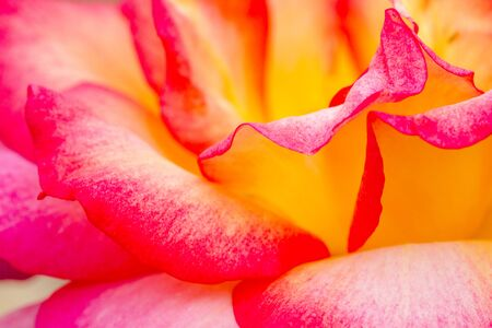 extreme close up: Extreme close up of side view of pink and yellow rose bud in rose garden