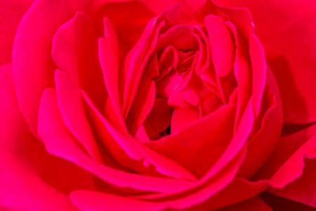 unfolding: Macro shot of bright pink rose bud unfolding in garden Stock Photo