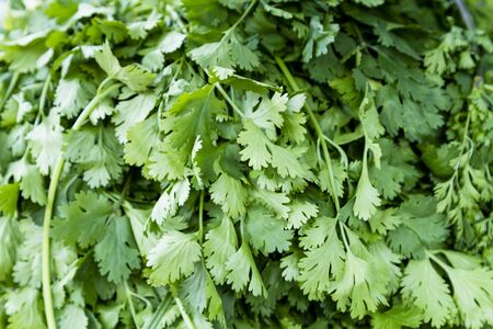 bunches: Stack of fresh picked cilantro bunches