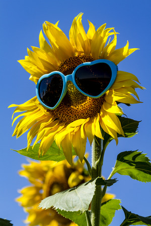 giant sunflower: Giant open yellow sunflower bloom in field of sunflowers with blue heart sunglasses on flower face